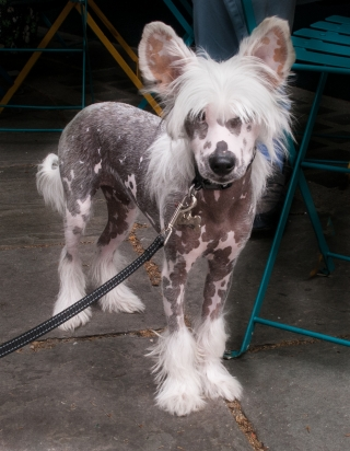 Wilfred [Chinese Crested], Bath, '21.