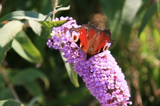 Buddleia/Butterfly.