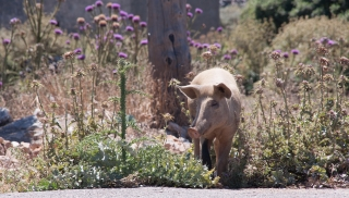 Pig and Thistles, Greece, '16.
