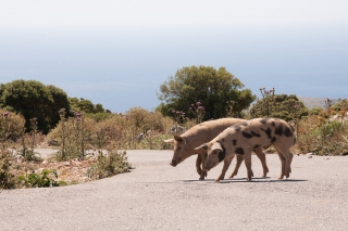 Pigs on Road, Greece, '16.