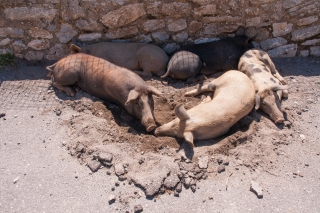Pigs in Dustbath, Greece, '16.