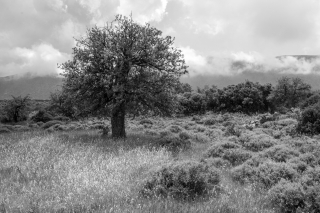 Holm Oak, Nr Kiparissi Greece, '16.