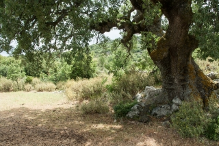 Holm Oak, Above Kiparissi, Greece, '16.