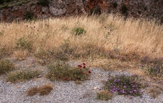 Roadside Flowers, Greece, '16.