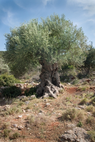 Ancient Olive Tree, Greece, '16.