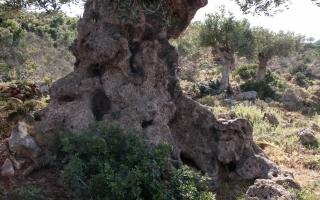 Ancient Olive Trees, Greece, '16.