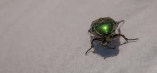 Emerald Beetle, Greece, '16.