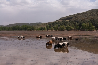 Cows in Lake, Mid Atlas, Morocco. '17.
