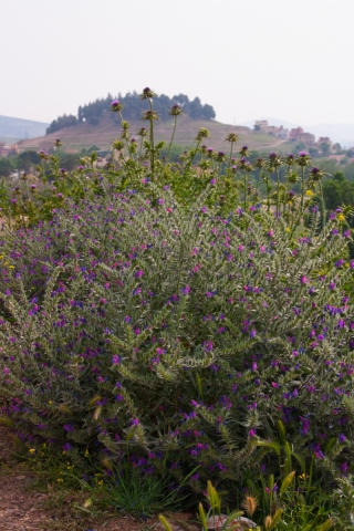 Purple Bush, Azrou, Morocco. '17.