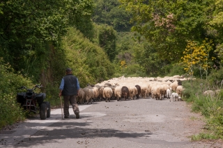 Sheep on Road, Sicily, '18.