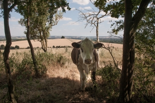 Cow, Wittenham Clumps, Oxon.