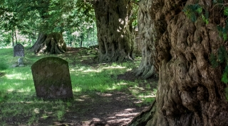 Ancient Yews, Capel-y-finn Churchyard.