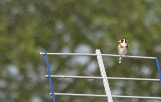 Goldfinch, [Covid 19 photo's], Bath, '20.