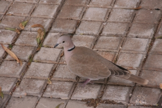 Turtle Dove, La Gomera, '14.