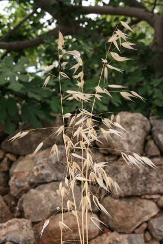 Grass Stalk, Greece, '00.