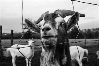 Goat, City Farm, London, '91.
