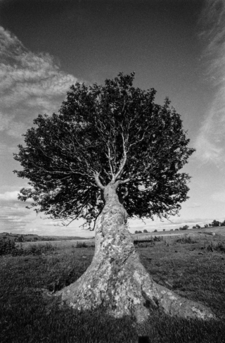 Wind Blown Tree, Cumbria, '96.