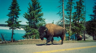 Buffalo, Yellowstone Park, USA.