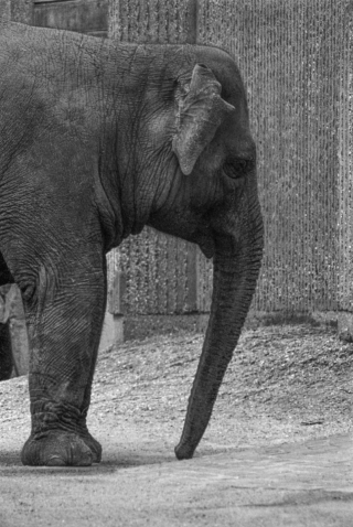 Elephant, London Zoo.