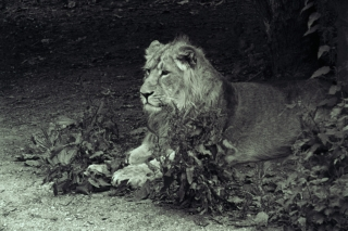 Lion[toned], London Zoo. 2.
