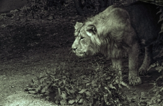 Lion[toned], London Zoo. 1.