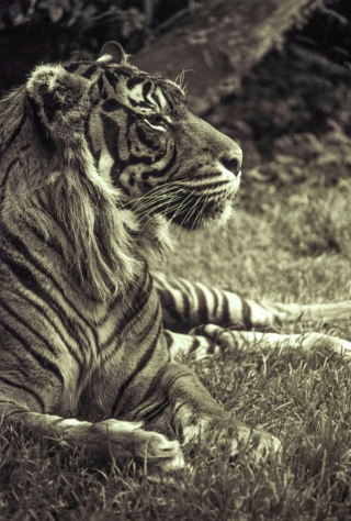 Tiger[toned], London Zoo. 2.