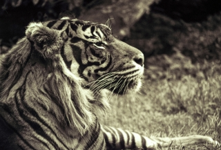 Tiger[toned], London Zoo. 1.