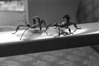 Stick Insects.