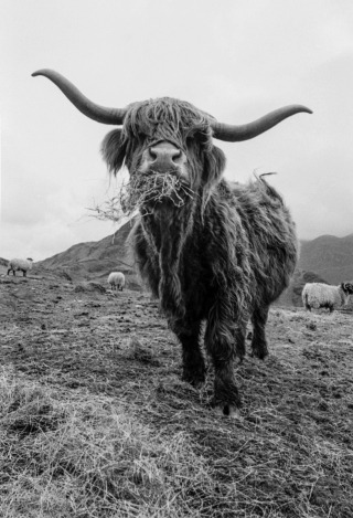 Highland Cow, Cumbria, '96.