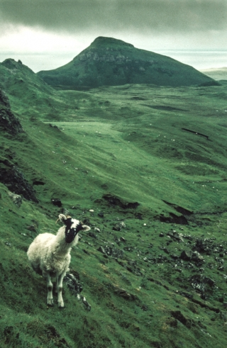 Sheep, Troternish Peninsular, Isle of Skye.