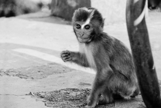 Baby Macaque, India, '01.