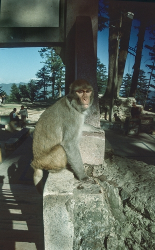 Macaque, Shimla, India, '01.