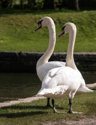 Swan couple, Bath.