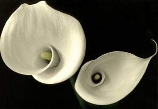 Calla Lillies[B&W Hand Painted]. 1.