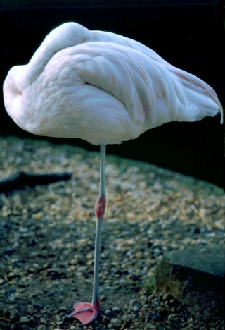 Flamingo, Golders Hill, London, '94.