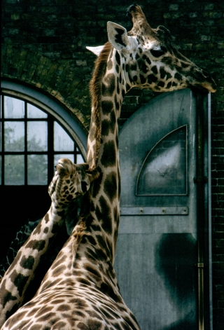 Giraffe's, London Zoo.