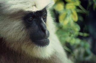 Langur, Rishikesh, India, '01.