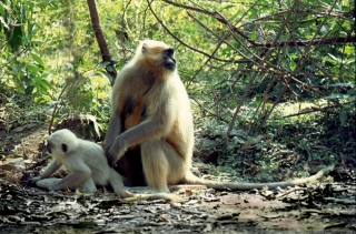 Langurs, Rishikesh, India, '01.