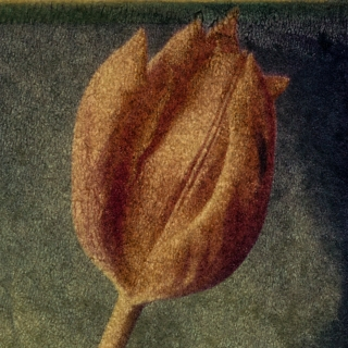 Tulip [Detail], Polaroid Transfer.