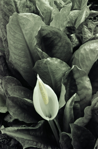 Flower/Leaves [Hand painted B&W] .