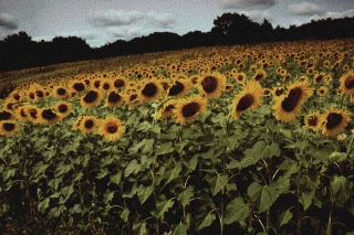 Sunflowers, France, '00