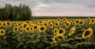 Sunflowers, France, '09.