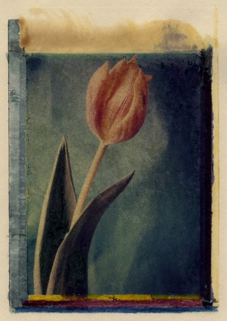 Polaroid Transfer[with painting], Tulip.