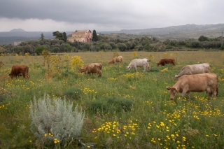 Cattle and Flowers.