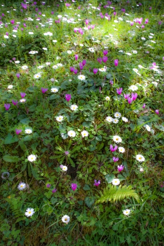 Cyclamen and Daisies 1, Sicily.